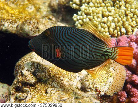 Triggerfish. Orange-feather Triggerfish - This Triggerfish Grows Up To 30 Cm Long. It Feeds On Crabs