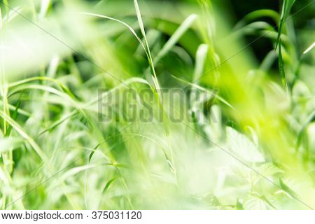 Blurred Background Of Light Green Grass. Selective Focus, Front View.