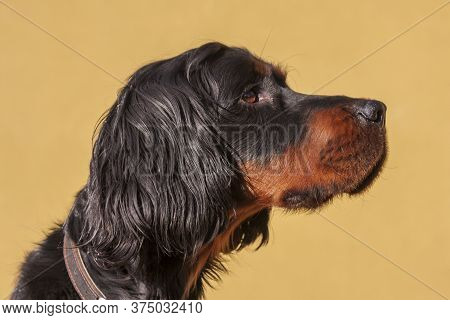 Gordonsetr - Gordon Setter - His Head From The Side On A Yellow Background