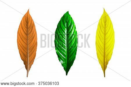 Green, Yellow And Orange Leaves Of A Plant Isolated On White Background. The Concept Of Three Season