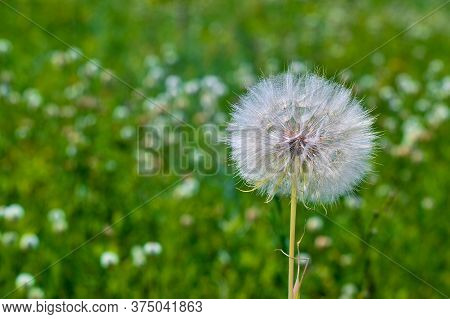 A Large White Dandelion Of A Salsify Close-up Against The Background Of A Blooming Green Meadow.