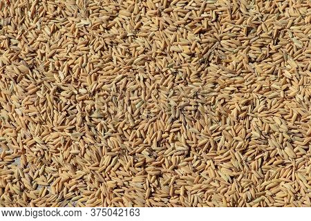 Close Up Paddy Rice, Paddy Rice Has Not Shell Out. Spread Of Paddy Jasmine Rice On The Yard To Dry I