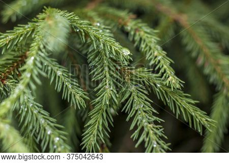 Spruce Legs Are Decorated With Raindrops. Spruce Background For Creative Works And Presentations.