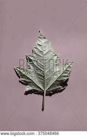 Beautiful Incredible Silver Poplar Leaf With Deep Shadow On Pink Background.