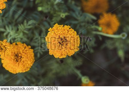 A Mixture Of Soft Focus And Vintage Effect On Marigold Flower