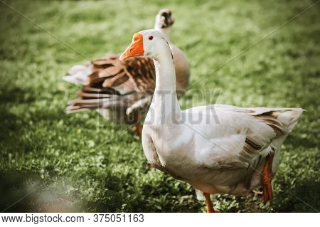 A Cute White Domestic Goose With A Bright Orange Beak Walks With Interest On The Green Lawn With Ano