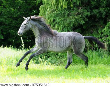 A Pretty Silver Dun Colt Canters And Plays In A Grass Paddock.