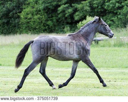 A Pretty Silver Dun Colt Trots And Plays In A Grass Paddock.