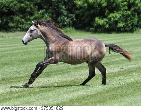 A Yearling Colt Plays In A Summer Paddock.
