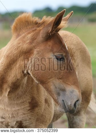 A Headshot Of A Rare Breed Suffolk Punch Foal.