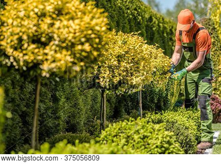 Seasonal Garden Decorative Trees And Plants Trimming Job. Caucasian Gardener Trimming Branches Using