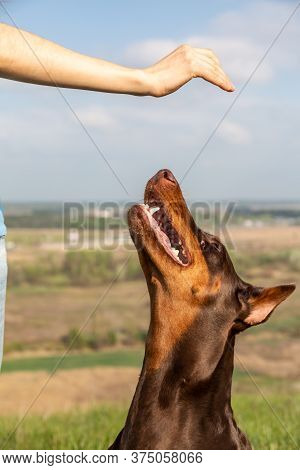 A Brown And Tan Doberman Dobermann Dog Reaches For A Hand With A Treat In A Blurry Natural Backgroun