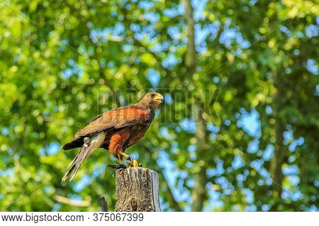 Close-up Of A Golden Eagle, Aquila Chrysaetos Species On Green Trees Background, Falconry Birds Of P