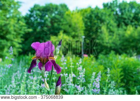 Iris Flower. Blooming Purple-pink Iris, Perennial Plant Of The Iridaceae Family.