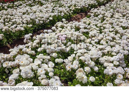 Gorgeous field of luxurious springtime flowers of buttercups/ranunculus. Beautiful sunny  day. Spring walk in southern Israel. Ecological, botanical and photo tourism concept