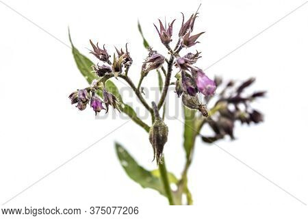 Healthy Comfrey Flowers With Leaves (symphytum Officinale) On White Background. Comfrey Is Used In O