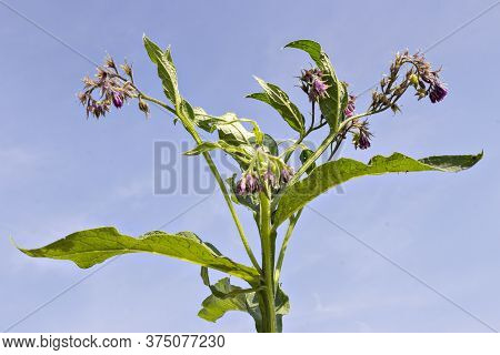 Healthy Comfrey Flowers With Leaves (symphytum Officinale) In The Natural Environment. Comfrey Is Us