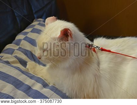 An 11 Year Old White Male Cat Recovers From Surgery At Home For Ear Cancer On Both Ears. About Half