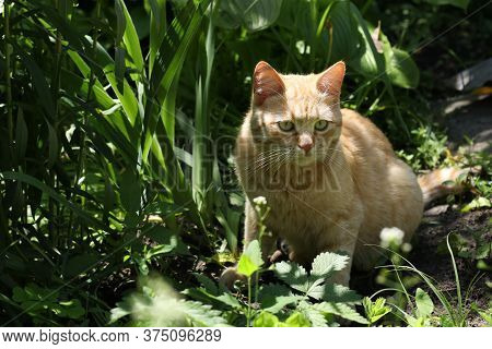 Red Cat Sits In The Bushes And Stares Intently To The Side, Closeup