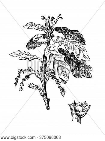 Oak Hand Drawn Inflorescence With Leaves. Quercus Robur Drawing Sketch Forest Plant. Cosmetic And Me