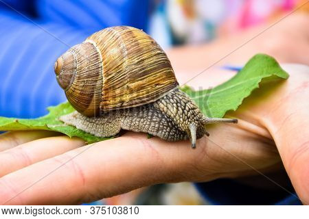 Big Snail Is Trying To Escape From Girls Hand.