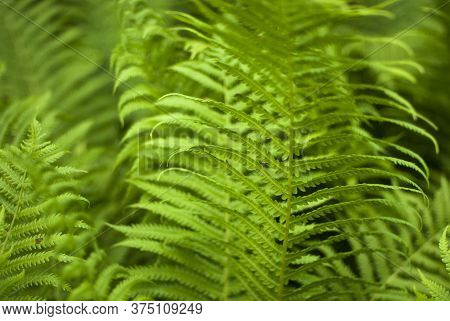 Beautiful Background Made With Young Green Fern Leaves. Green And Macro Leaves. Floral Fern Backgrou