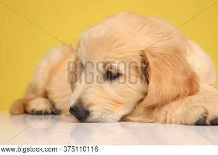 shy labrador retriever pup laying down and looking up on yellow background