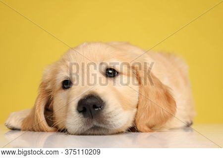cute labrador retriever puppy holding head down and looking up, laying down on yellow background