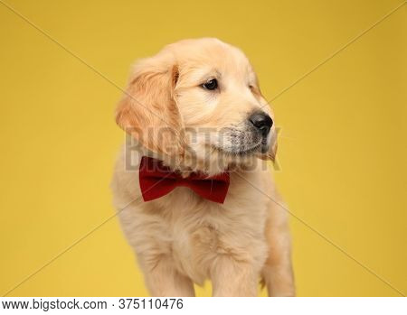 elegant labrador retriever pup wearing bowtie and looking to side on yellow background