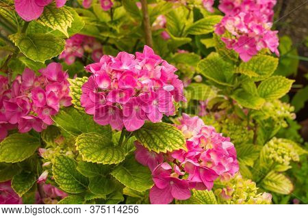 Flowers On A Hydrangea Macrophylla Growing In Friuli, Italy. Also Known As Hortensia, Pink Mophead H