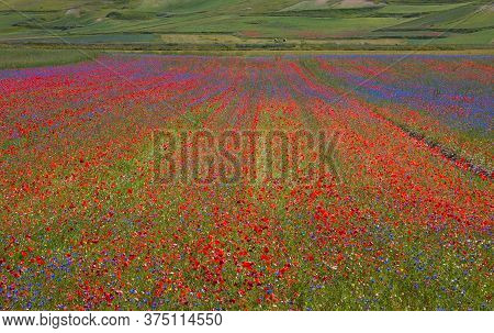 Flowering Of Castelluccio Of Norcia, A Town In The National Park Of The Sibillini Mountains In Italy