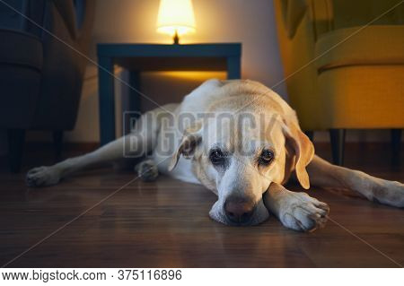 Old Dog Resting At Cozy Home. Bored Labrador Retrivere Lying Down Against Table With Chairs.