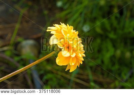 A Yellow Pom Pom Dahlia, Also Known As Ball Dahlia, A Member Of The Asteraceae Family, Growing In Fr