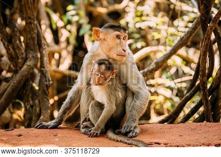 Goa, India. Bonnet Macaque - Macaca Radiata Or Zati With Newborn Sitting On Ground. Monkey With Infa
