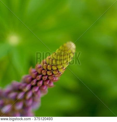 Blooming Violet Lupine Flower On Green Blurred Background. Lupinus Polyphyllus.