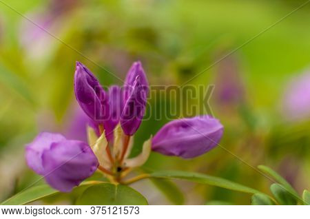 Blooming Pink Rhododendron Flower Bud On A Green Floral Background With Copy Space. Rhododendron Cat