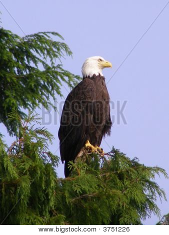 Pearched Eagle