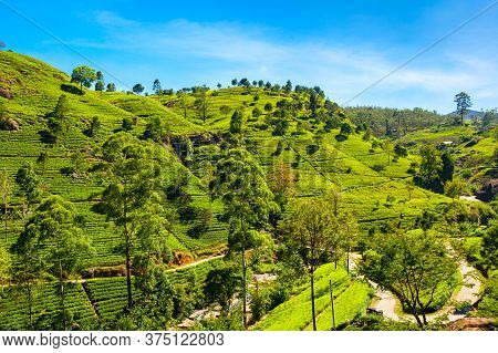 Nuwara Eliya Tea Plantation In Sri Lanka. Nuwara Eliya Is The Most Important Place For Tea Plantatio