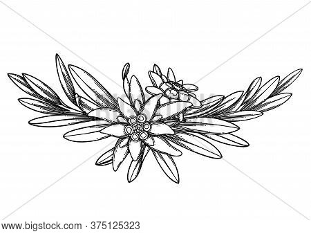 Graphic Vignette Made Of Edelweiss Flowers And Leaves.