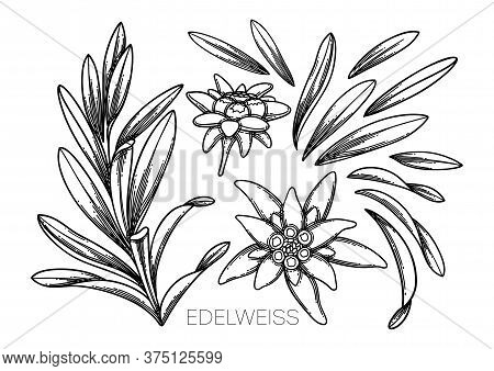 Collection Of Graphic Edelweiss Flowers And Leaves.