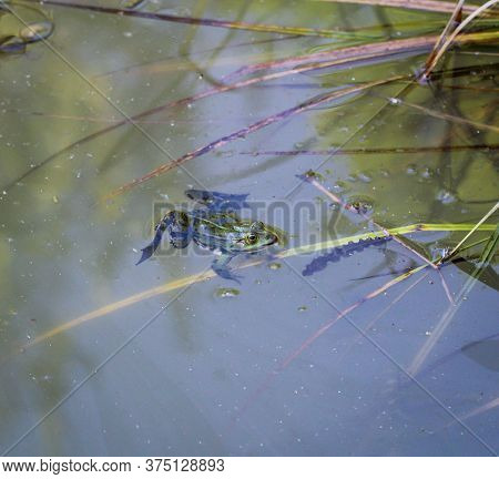 A Frog Is Sitting In A Pond. Frogs Are Amphibians.
