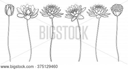 Vector Set Of Outline Lotos Or Water Lily Flower, Bud And Seed Pod In Black Isolated On White Backgr