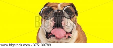 happy english bulldog puppy wearing glasses, panting and sticking out tongue on yellow background