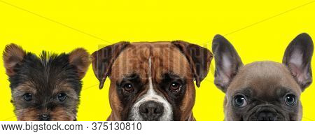adorable couple of 3 dogs consisting of a Yorkshire Terrier dog,Boxer dog and French Bulldog dog are standing side by side with no occupation on yellow background
