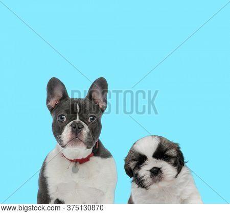 Dutiful French Bulldog wearing collar, looking forward and Shih Tzu cub looking forward shy on blue background