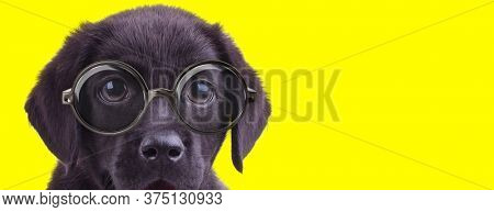 cute labrador retriever doggy with big eyes wearing glasses and panting on yellow background