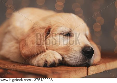 sleepy golden retriever baby dog laying head on the floor and trying to fall asleep on background lights