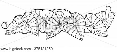 Vector Horizontal Bunch Of Outline Tropical Leaf Colocasia Esculenta Or Elephant Ear Or Taro Plant I