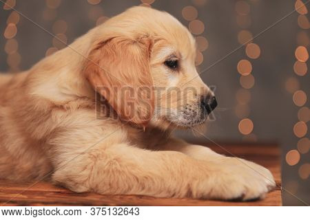 side view of cute golden retriever puppy looking to side and laying down on background lights