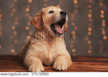 cute golden retriever dog looking up and woofing, laying down on wooden floor